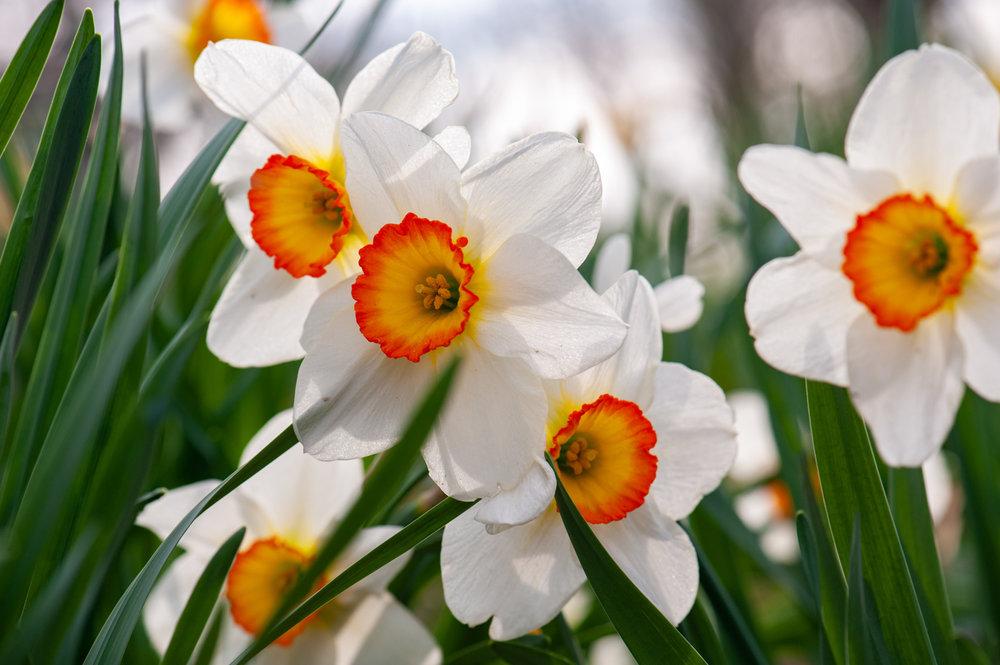 Spring, Flower, Daffodil, Midwest, Color Photograph, Healing Art, Hospital Art, Interior Design, Wall Art
