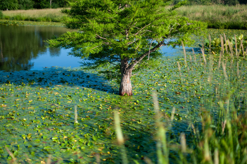 Cypress, Pond, Landscape, Midwest, Color Photograph, Healing Art, Hospital Art, Interior Design, Wall Art