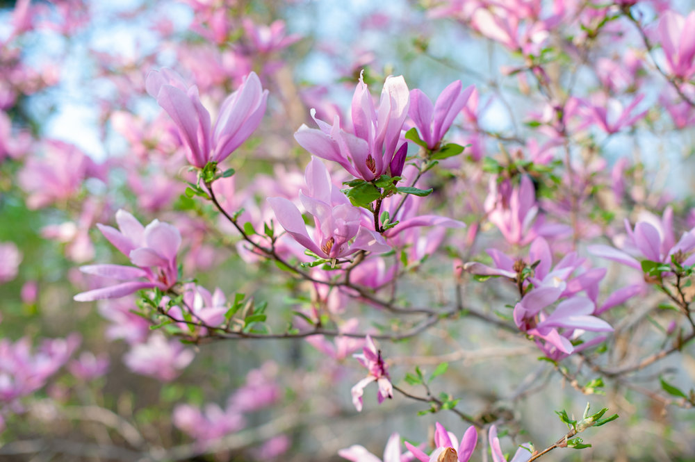 Magnolia, Midwest, Color Photograph, Healing Art, Hospital Art, Interior Design, Wall Art