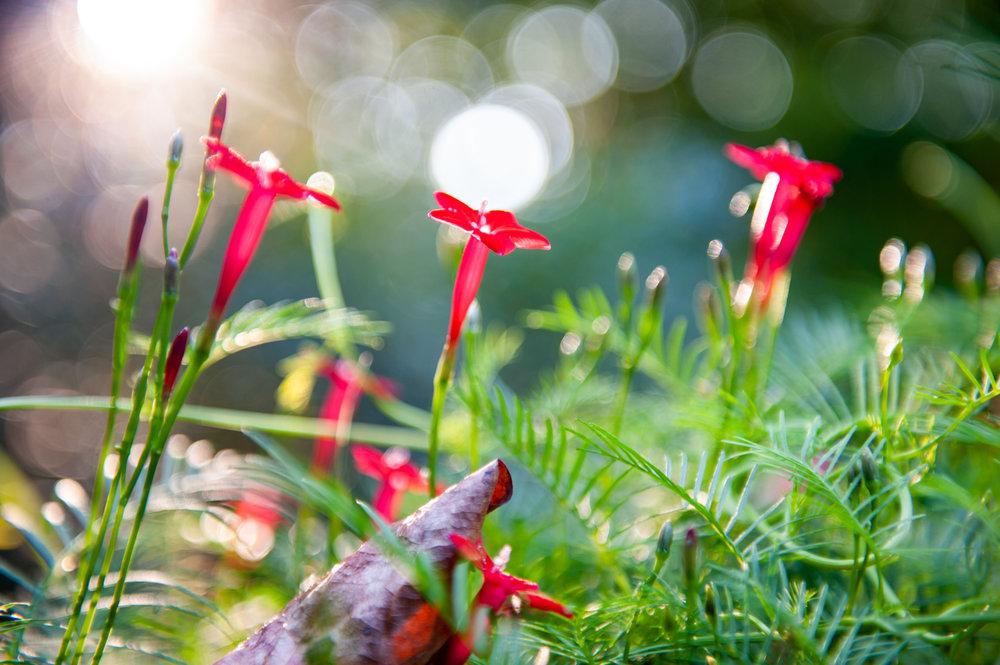 Cardinal Vine, Flower, Midwest, Color Photograph, Healing Art, Hospital Art, Interior Design, Wall Art