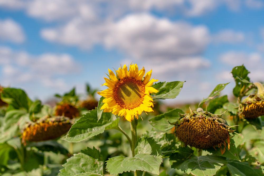Sun Flower, Landscape, Midwest, Color Photograph, Healing Art, Hospital Art, Interior Design, Wall Art