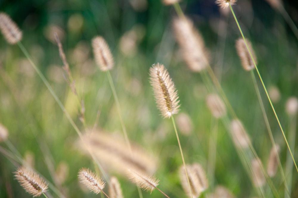 Grass, Seed Heads, Midwest, Color Photograph, Healing Art, Hospital Art, Interior Design, Wall Art