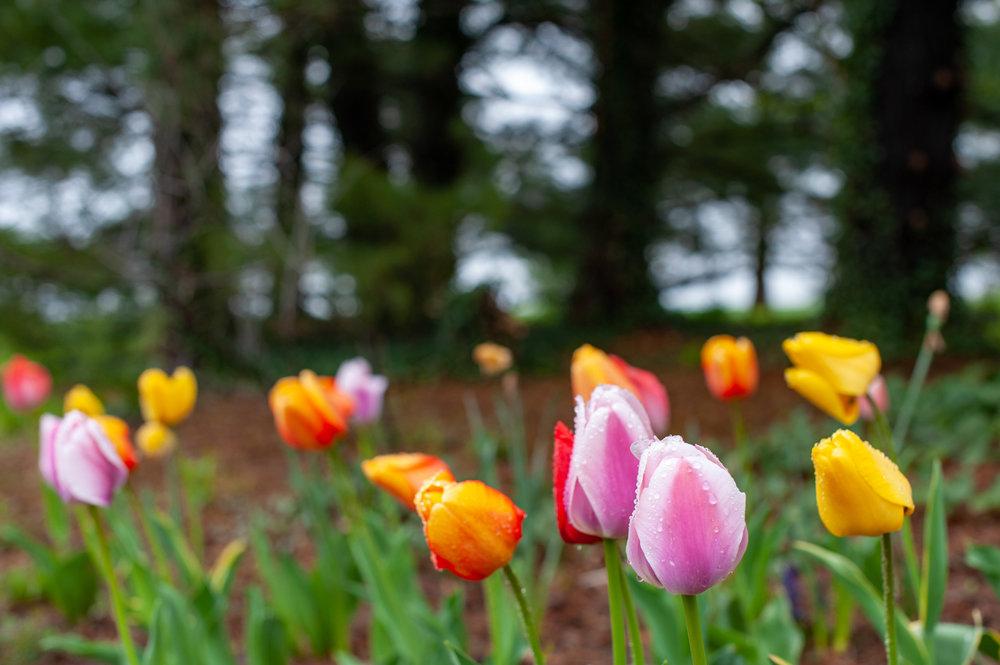 Tulip, Spring, Flower, Midwest, Color Photograph, Healing Art, Hospital Art, Interior Design, Wall Art