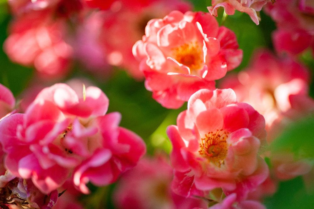 Rose, Flower, Midwest, Color Photograph, Healing Art, Hospital Art, Interior Design, Wall Art
