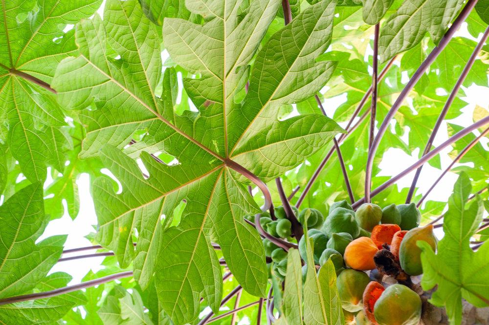 Papaya, Grand Cayman, Color Photograph, Healing Art, Hospital Art, Interior Design, Wall Art