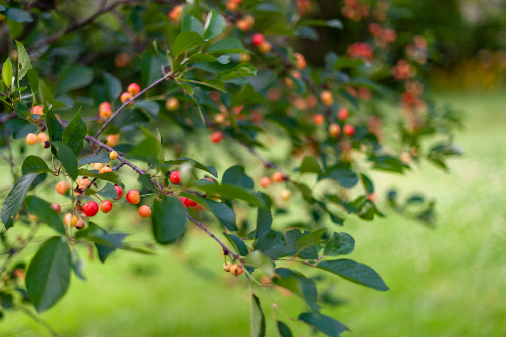 Cherry Tree, Midwest, Color Photograph, Healing Art, Hospital Art, Interior Design, Wall Art