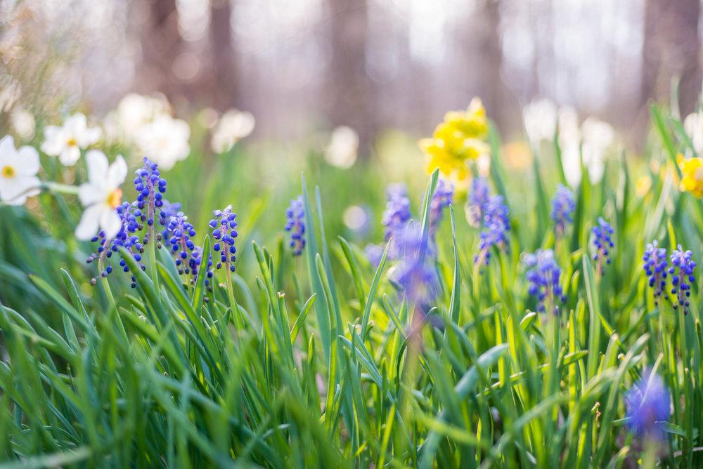 Spring Bulbs, Grape Hyacinth, Daffodil, Midwest, Color Photograph, Healing Art, Hospital Art, Interior Design, Wall Art