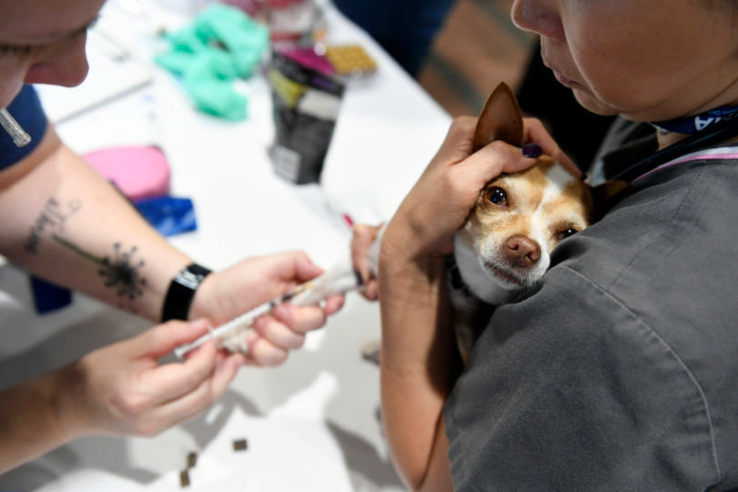 AVMA Street Clinic, July 17, 2018, Denver Convention Center. (Photos courtesy Denver Post) Chihuahua vaccine.jpeg