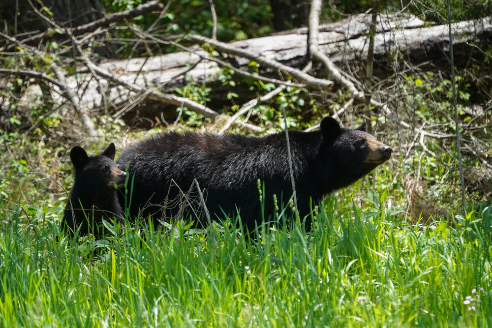 Sow and cub looking up from eating the new grass shoots in early spring.