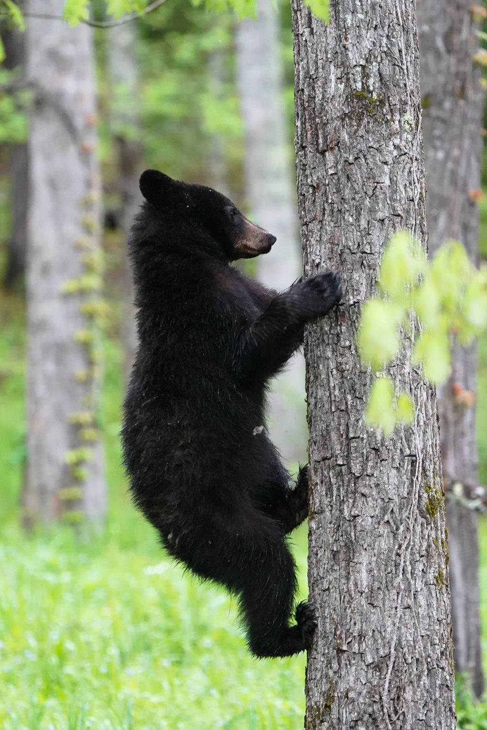 cubs are just as comfortable in the trees as on the ground. This is the first place to head at any sign of trouble.