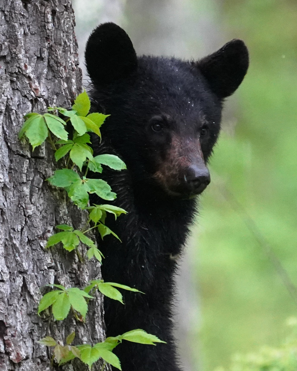 Young cub waiting for mom to give the ok to come back down out of the tree.