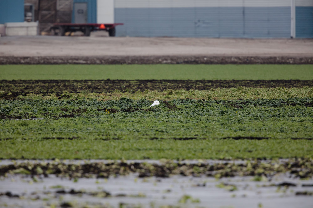 Snowy owl sitting off in the distance, even with 1000mm I'm going to have to crop like crazy to get anything.