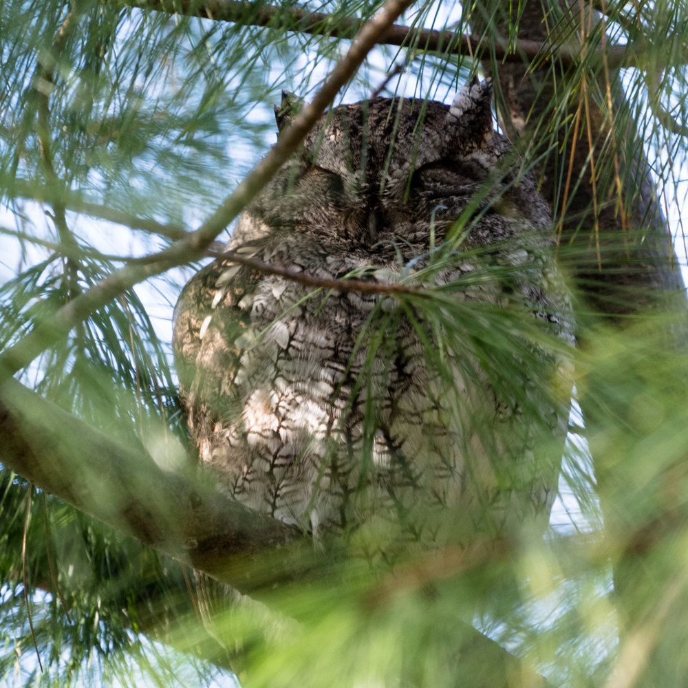 Sleepy Screech Owl keeping our front yard safe from critters