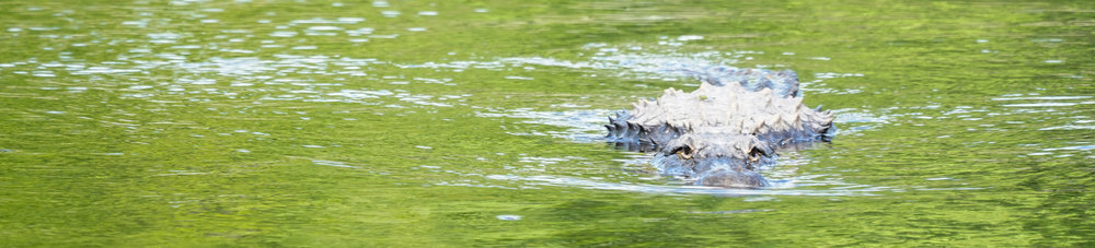 Gator heading towards my kayak….not as close as it looks as this is a crop from a shot taken at 560mm