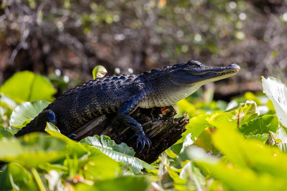 warming up in the morning sun. This young alligator was not worried about us as we paddled by.