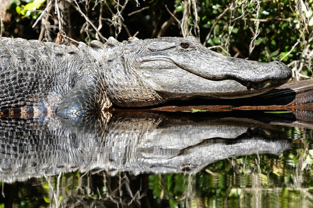 This gator was one of the bigger ones we saw, we were happy that it just wanted to sit in the sun.