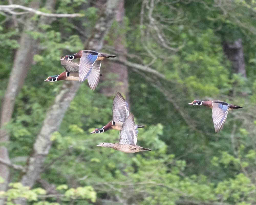 Wood ducks shot in crappy light against what used to be a challenging background. 560mm at f/8, 1/640s and ISO 6400, wide continuous focus.