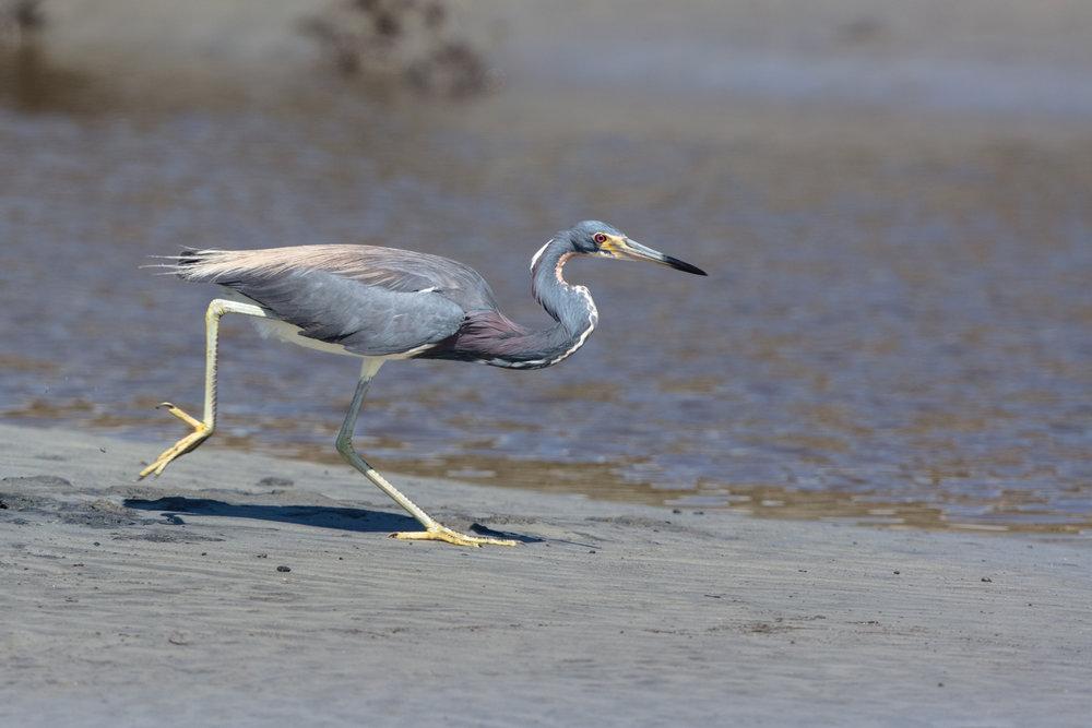 Tri-colored heron hunting on hunting island