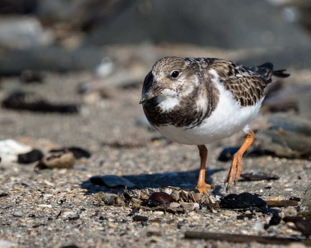 Getting down low with ruddy turnstones