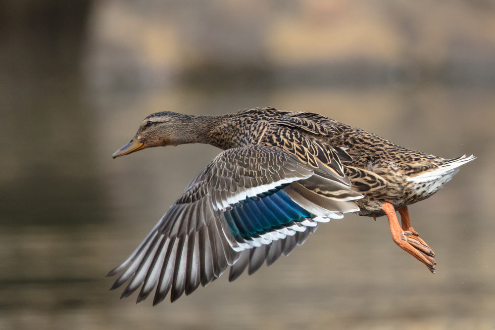 Female Mallard taking wing. Using fast shutter to stop wing motion….still a little visible at wing tips. Canon 5DS with EF500mm f/4L IS II USM +1.4x III. 700mm, f/5.6, 1/4000s, ISO 1600.