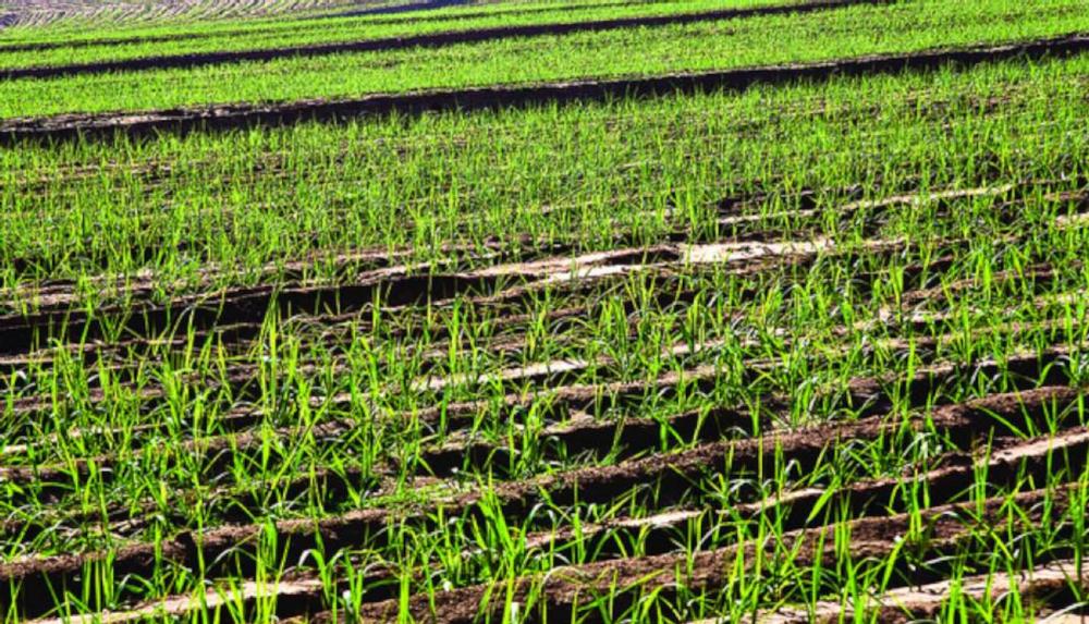 Sugarcane culture in Sertaozinho, Sao Paulo Copyright: Flickr/Sweeter Alternative