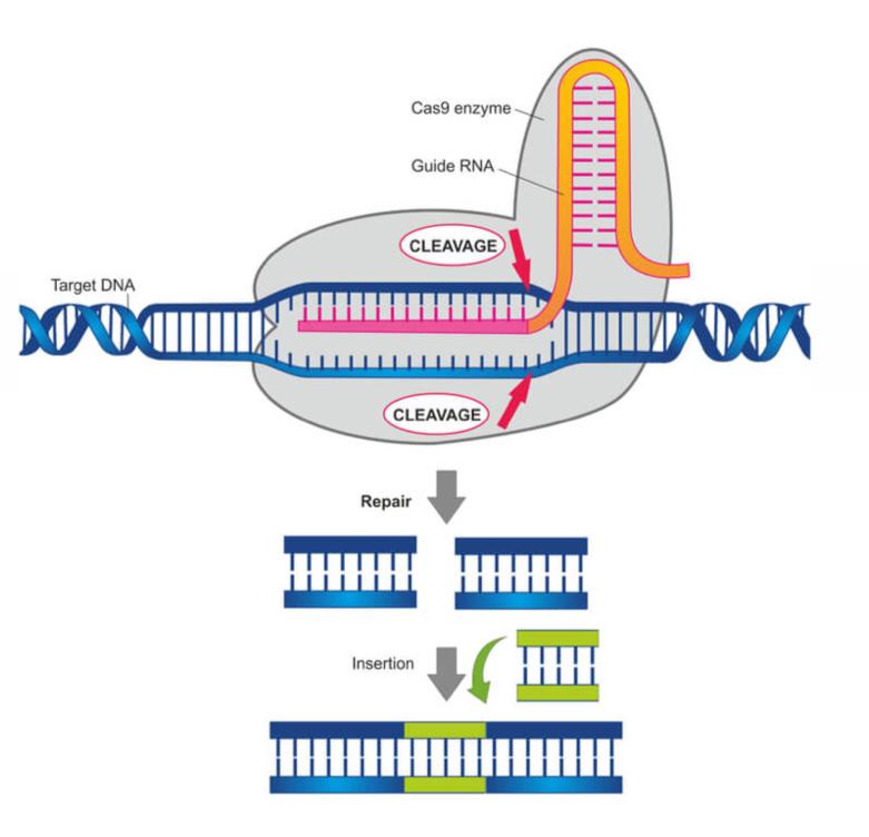 Figure showing the Cas9 enzyme in action. ( www.labiotech.eu )