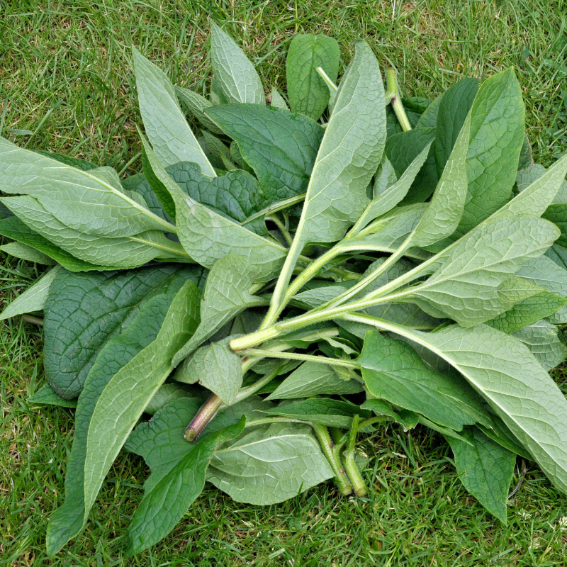 Catskills Comfrey_ Whole Leaves.png