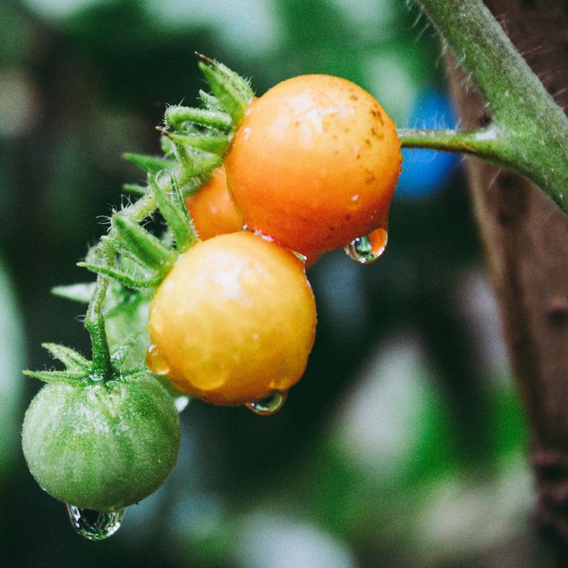 Catskills Comfrey_Cherry Tomatoes.png