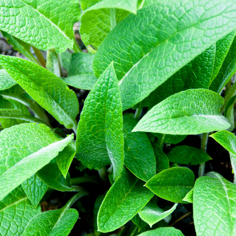 Catskills Comfrey_Plant Leaves.png