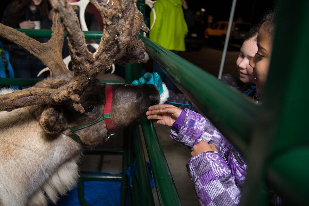 Live Reindeer - Back by popular demand