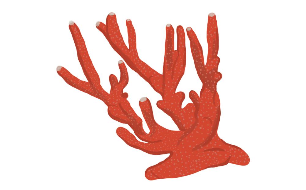 Finger coralMontipora digitata.png