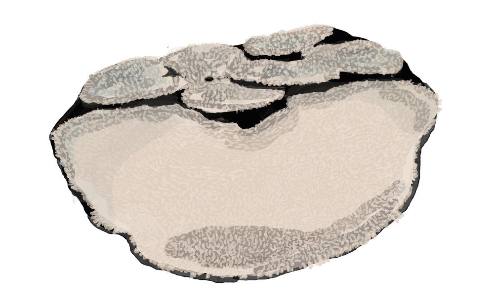 Table coralAcropora cytherea.png