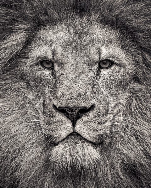 FFV5 - Portrait of African Lion (web) © Paul J Coghlin.jpg