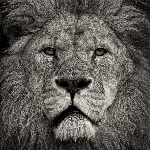 Lion's Stare (web) © Paul J Coghlin.jpg