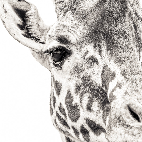 BTE2_022 Giraffe VII. Photograph of a giraffe, close up, by fine art photographer Paul Coghlin