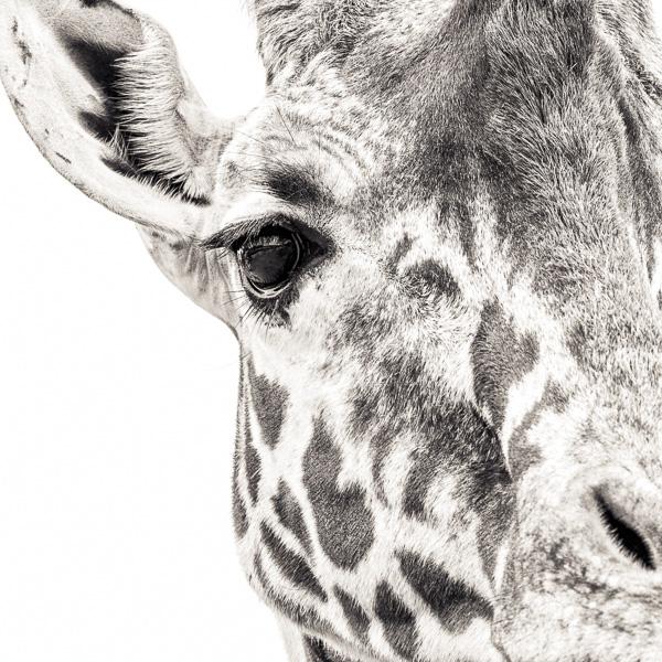 BTE2_022 Giraffe VII. Photograph of a giraffe, close up, by fine art photographer Paul Coghlin