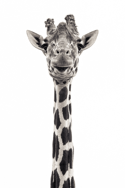 Giraffe V. Photograph of a giraffe by fine art photographer Paul Coghlin