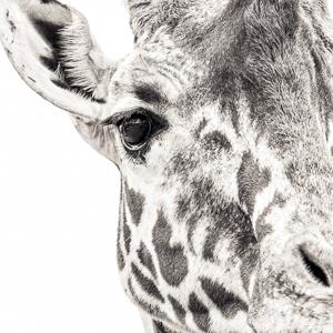 Giraffe VII