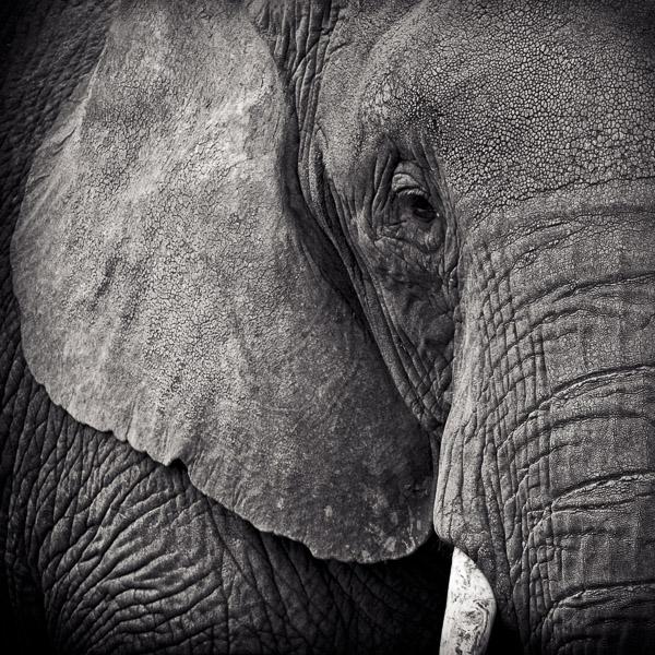 BTE_002 Portrait of an Elephant by fine art photographer Paul Coghlin.