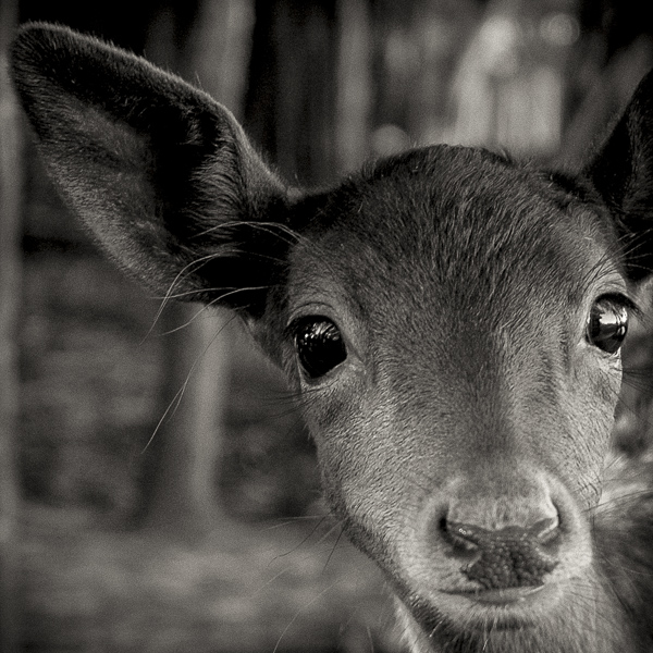 BTE_005 Inquisitive Fawn. Portrait of a fawn by fine art photographer Paul Coghlin.