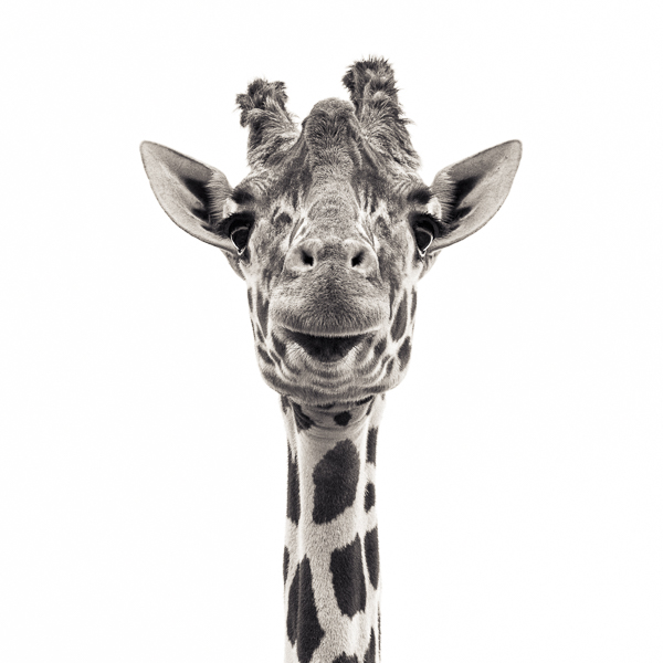 BTE2_019 Giraffe VI. Photograph of a giraffe by fine art photographer Paul Coghlin