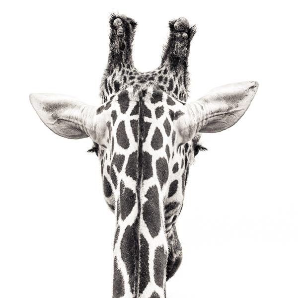 BTE2_023 Giraffe VIII. Photograph of a giraffe by fine art photographer Paul Coghlin