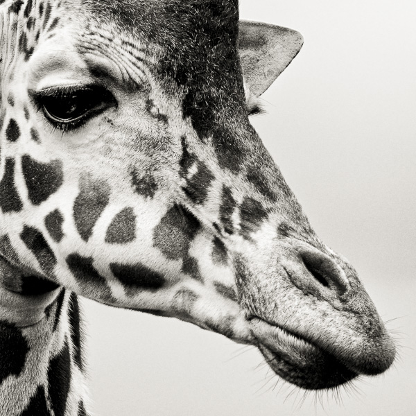BTE2_002 Portrait of a Giraffe by fine art photographer Paul Coghlin.