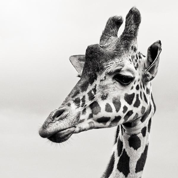 BTE2_003 Giraffe II. Portrait of a giraffe by fine art photographer Paul Coghlin.
