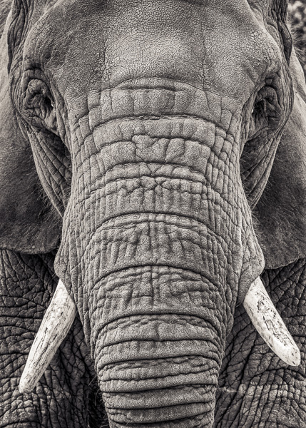 BTE2_020   Portrait of an Elephant III. Photograph of an elephant by fine art photographer Paul Coghlin.