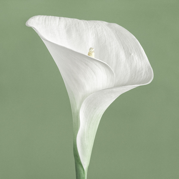 CF019 Calla Lily III. Limited edition photography print by fine art photographer Paul Coghlin