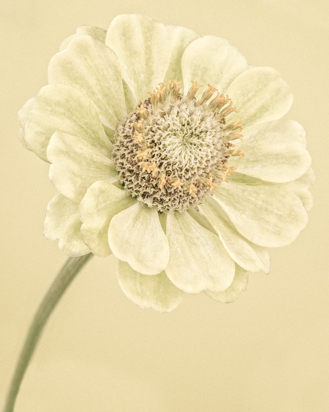 Pale Yellow Zinnia I. Limited edition photographic print by Paul Coghlin