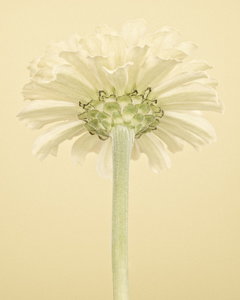 Pale Yellow Zinnia II. Limited edition photographic print by Paul Coghlin