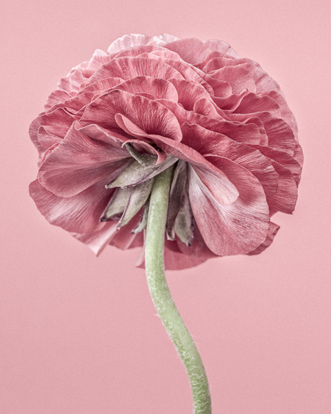 CF018 Pink Ranunculus III. Limited edition photographic print by Paul Coghlin
