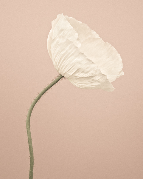 CF011 Icelandic Poppy I. Limited edition photographic print by Paul Coghlin